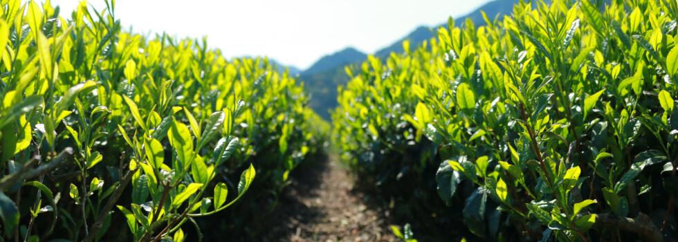 お客様に安心しておのみいただけるように丁寧に育てた茶畑です。