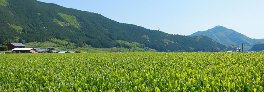 伊勢茶の茶畑