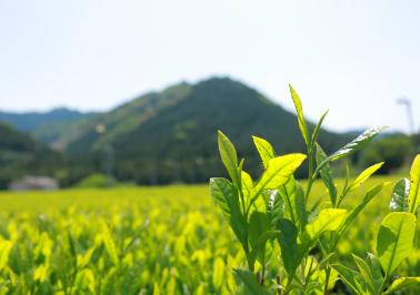 日照時間が少なく、乾燥しやすい土地でも香り豊かな茶葉になるように工夫をしています。
