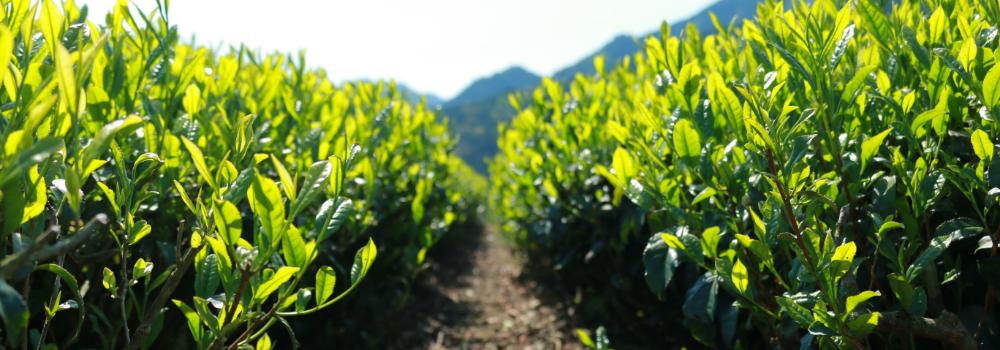 美しい茶畑